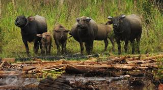 kerbau rawa sumatera selatan