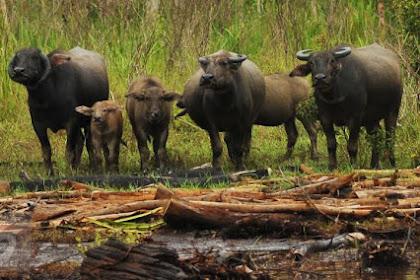 Inilah Kerbau Rawa Sumsel, Salah Satu Kerbau Asli Indonesia