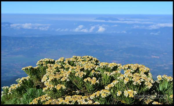 Bunga Edelweis Terlihat Di Puncak Pegunungan
