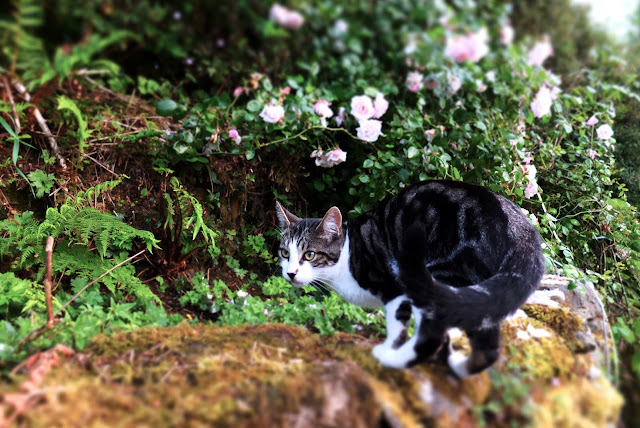 Image of a black, brown and white cat that has jumped on a mossy, stone wall.