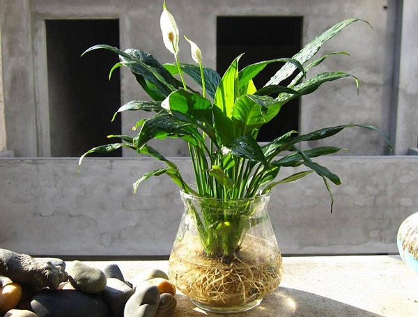 Nên vệ sinh lá lan ý thường xuyên, trồng trong nước thì thay nước đều đặn