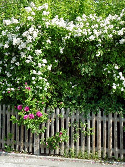 Gartenblog Geniesser Garten Gartenzaun