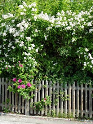 Holzzaun, Staketen, Holzlatten, Sichtschutzgehölze, Landhaus Zaun