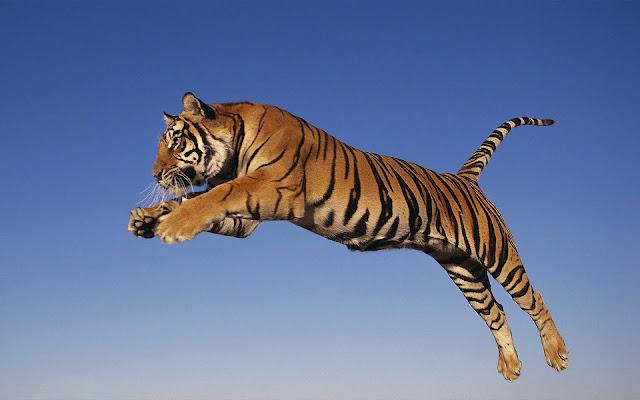 Tijger achtergrond met springende en aanvallende tijger