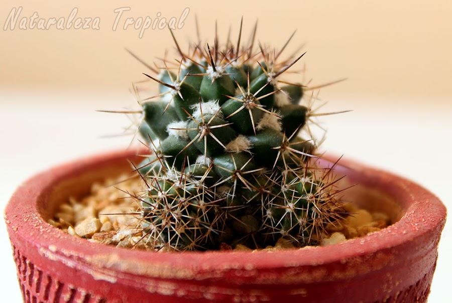 Cactus con dos plantas hijas formándose en sus laterales