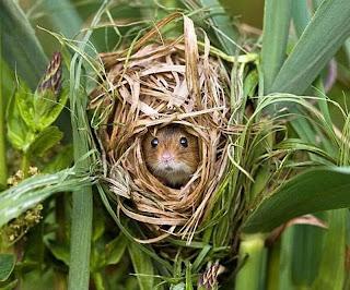 ratón de campo en su madriguera