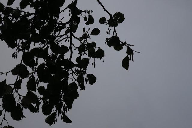 Alder catkins / fruits