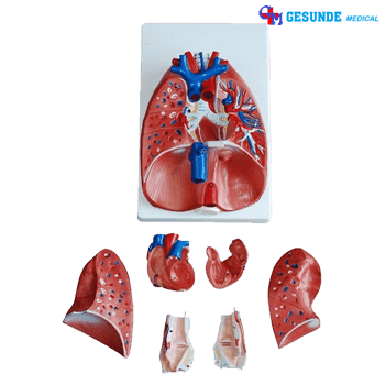 Jual Torso Organ Tubuh Tenggorokan Hati Dan Paru