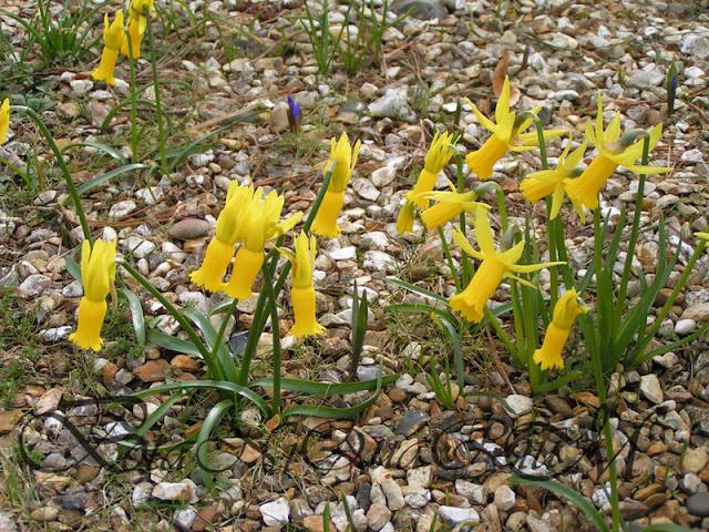 Botaniquarium - Narcissus cyclamineus habit