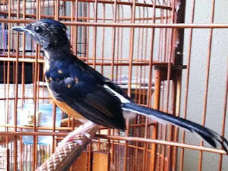 Burung Murai Batu - Perawatan dan Penanganan Burung Murai Batu yang Mabung, Ngurak, Nyulam dan Ambrol Bulunya - Penangkaran Burung Murai Batu