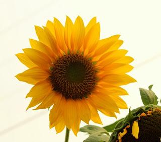 bunga matahari lamongan33