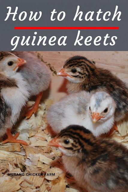 How to hatch guinea keets