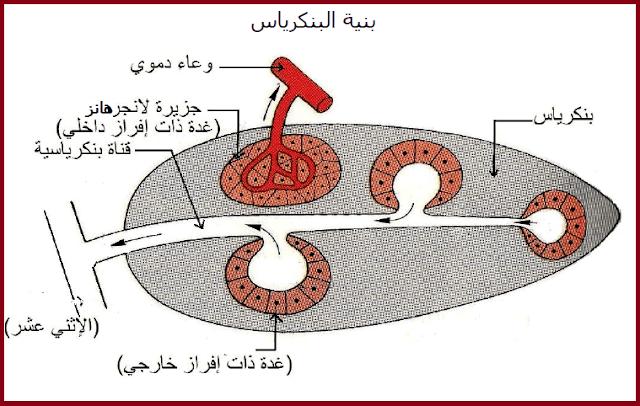 بنية البنكرياس