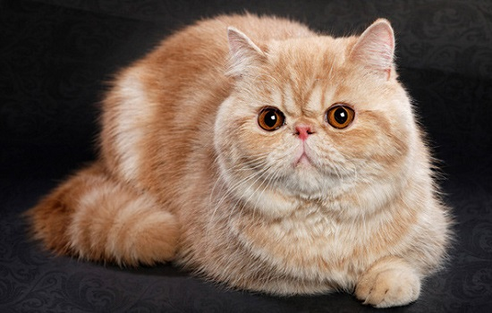 kucing terpopuler di Indonesia