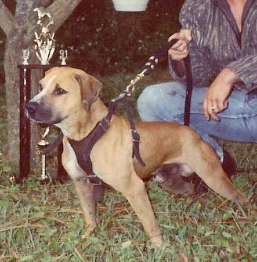 Pit Dog Report: GR CH HALL'S ANDY CAPP (ROM)