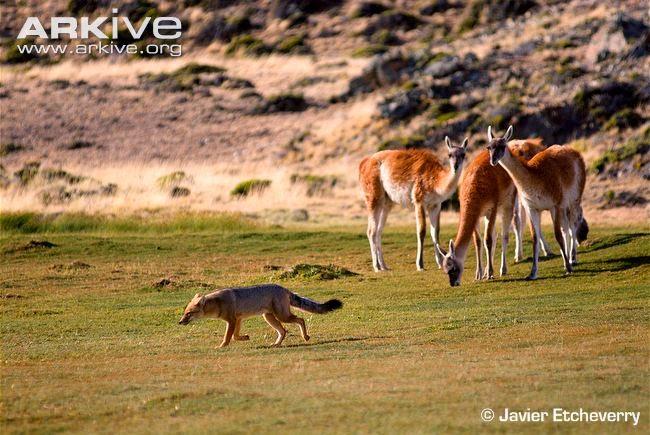 predadores del guanaco