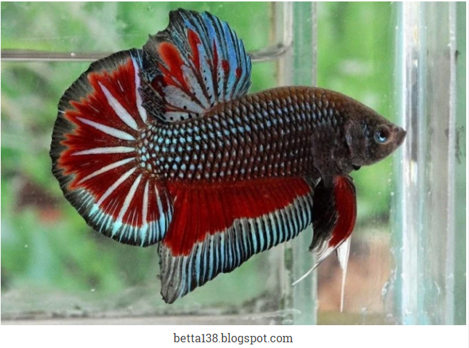 99 Gambar Ikan Cupang Yang Besar Terbaik