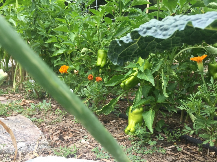 Peppers on the vine // How to Grow Peppers // www.thejoyblog.net