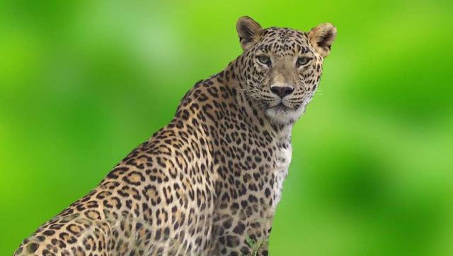 Leopard safari in Bera Rajasthan