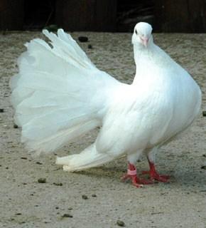 gambar burung merpati XTRA TWO