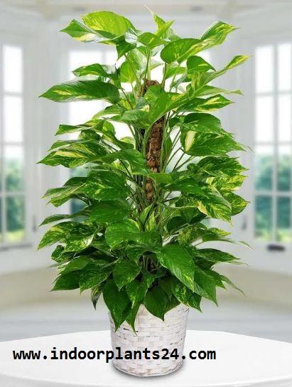 Epipremnum Aureum plant potted image