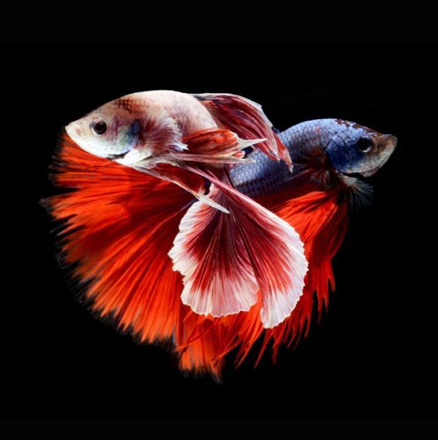 Dunia Ikan Hias - Ikan Air Tawar Cupang