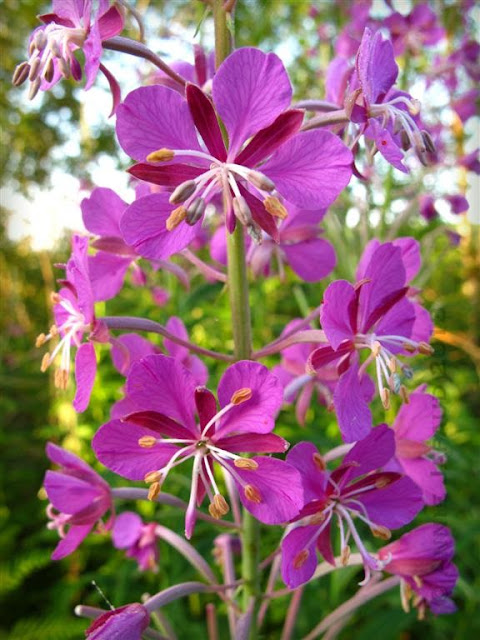 fireweed - purple flowers