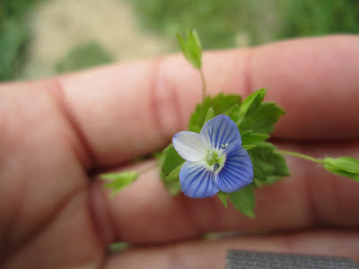 Veronica persica - Common Field-speedwell
