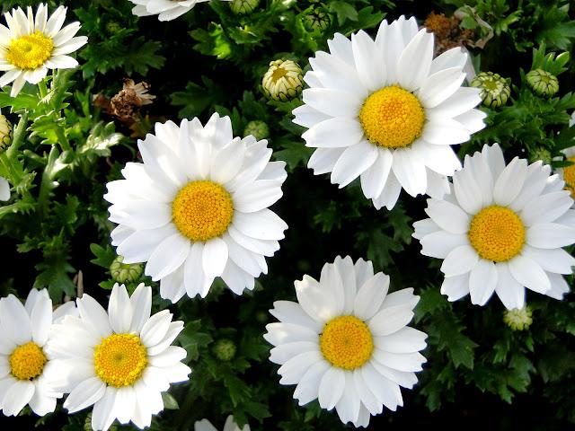 マーガレットの花の写真