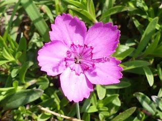 Oeillet à delta - Dianthus deltoides - Oeillet couché - Oeillet glauque