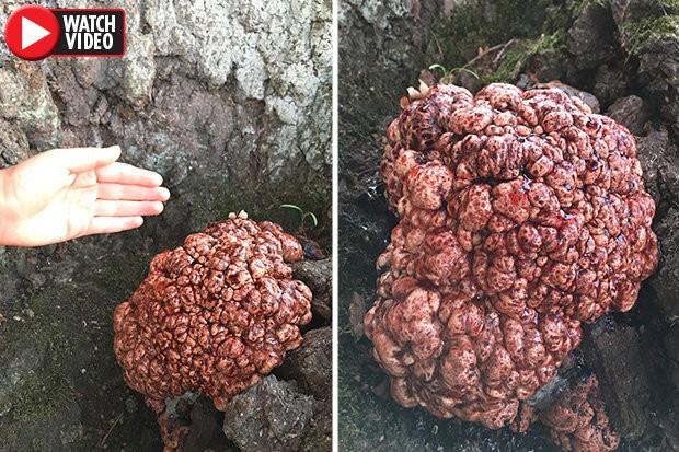 Chuyện lạ về bộ não mọc trên cây chưa từng thấy ở Đan Mạch