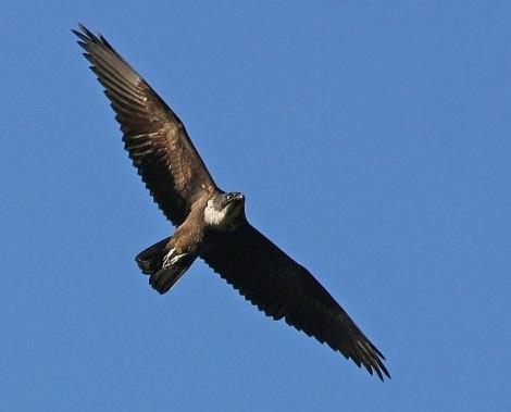 Unduh 410+  Gambar Burung Elang Dan Kelelawar  Terbaru Gratis