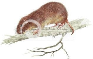 Hutía de Cuvier Plagiodontia aedium