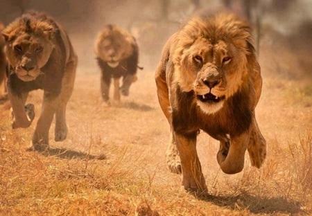 Kenya lions back in park after city visit