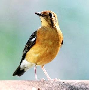 Daftar Harga Burung Anis Merah Terbaru Burung Pengicau