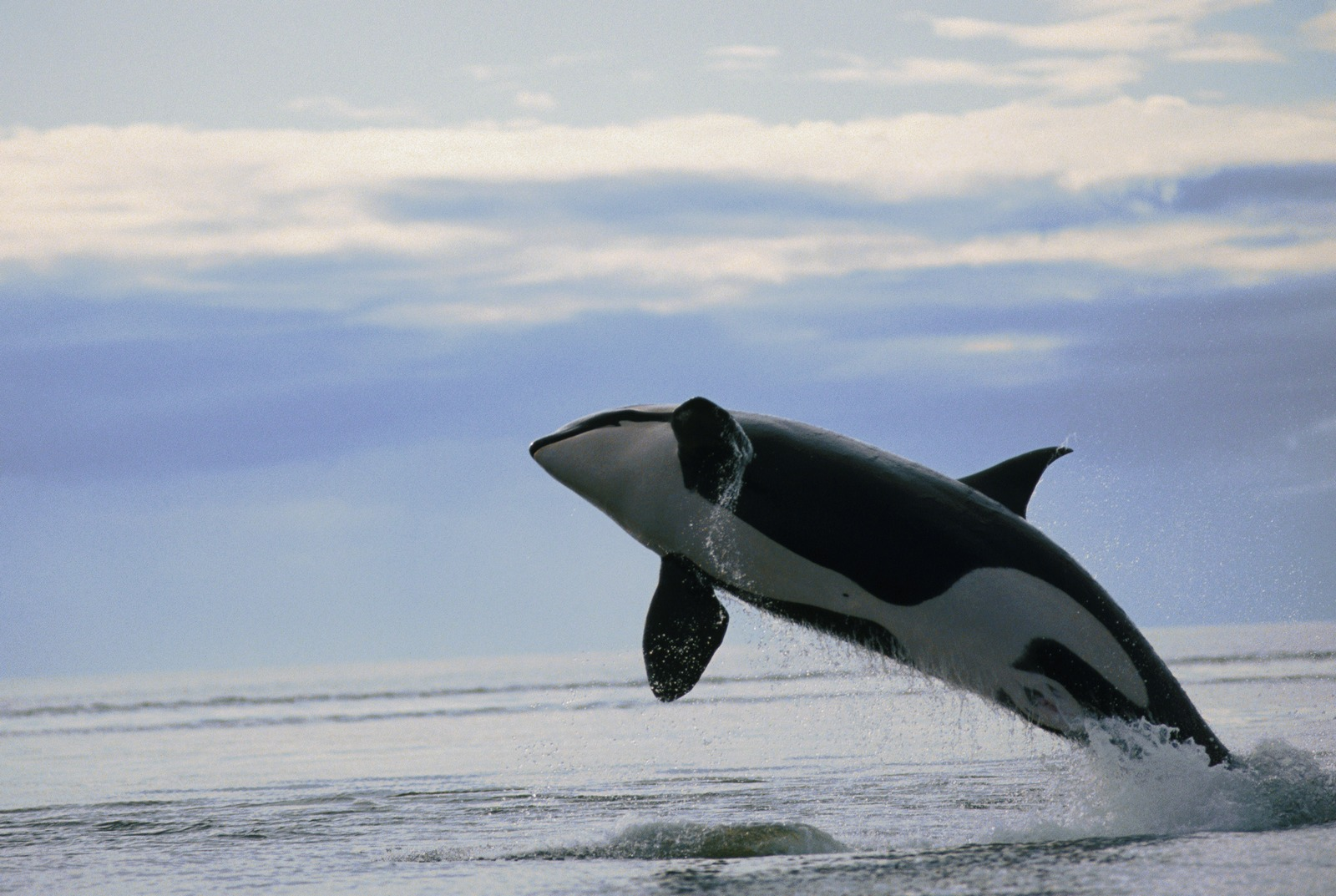 Malignant Sharks and Killer Whales | My image