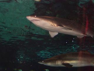 Requins taureaux
