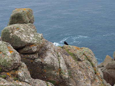 Rare Cornish Chough Bird