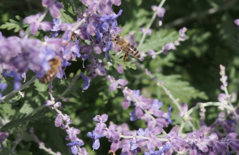Bienen an Hochsommerblühten