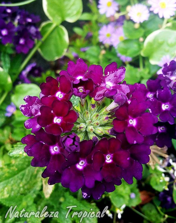 Floración de una Verbena