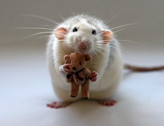 Funny Pictures Funny Rat 2
