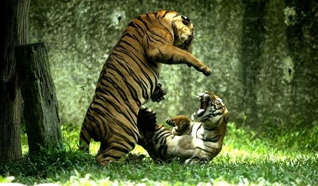 Dos fieras peleando
