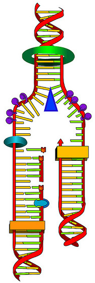 DNA Synthesis