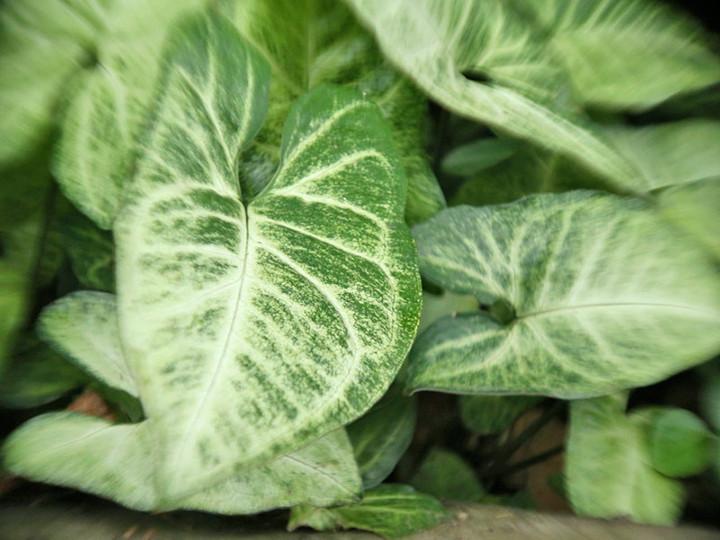 Coisas de casa e tal 22 plantas para voc cultivar em for Planta venenosa decorativa