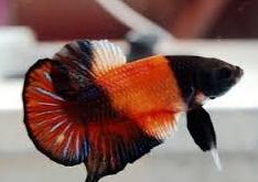 Cupang Termasuk Jenis Ikan Hias Air Tawar Aquarium