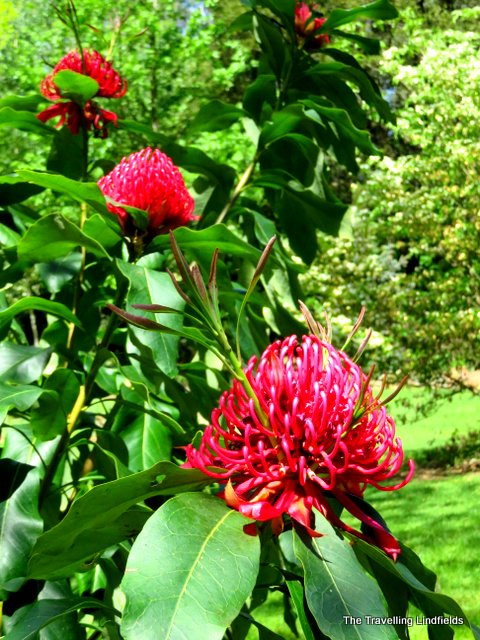 Waratahs Harrietville