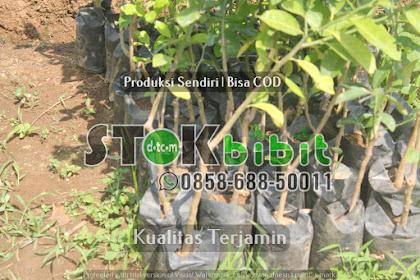 Durian Musang King Kaki 3 dan Keunggulan Musangking Kaki 3    Grosir