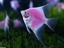 Inilah Jenis-Jenis Ikan Manfish/(Angelfish)