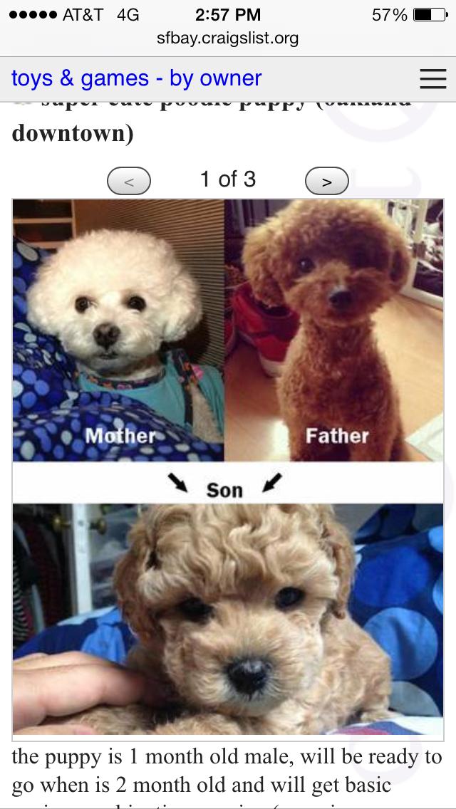 Milk Tea Fashionista: Meet Domo, my Toy Poodle