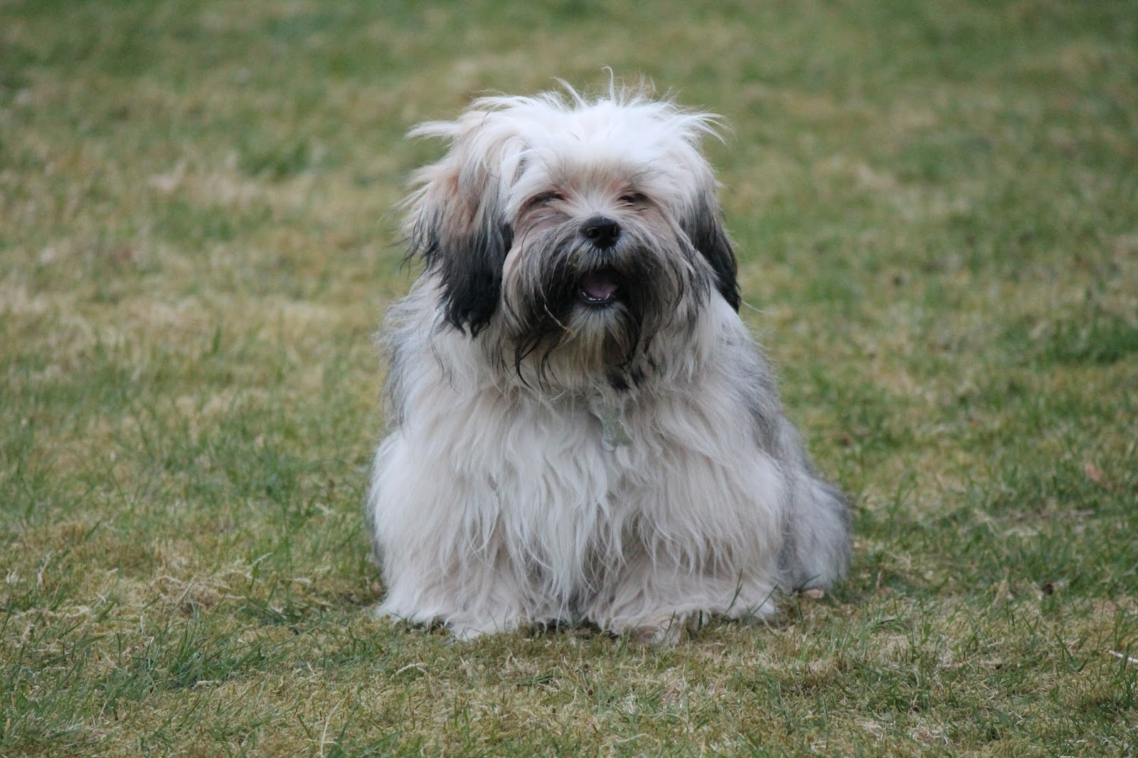 Picture of shaved lhasa apso-3107